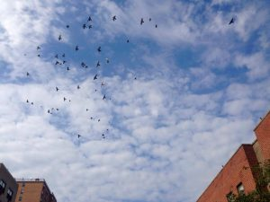 Coop pigeons in flight on Wilson Avenue, Bushwick.